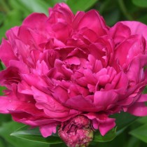 """Пион травянистый """"Пол М. Уайлд"""" (Paeonia 'Paul M. Wild')"""