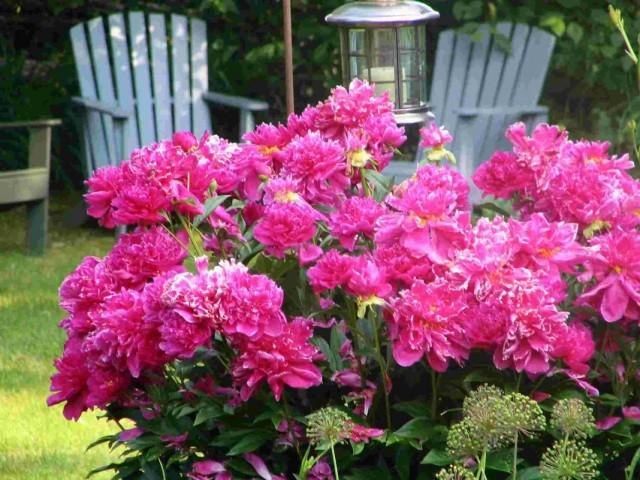 Пион молочноцветковый в саду