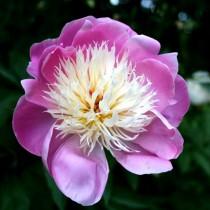 """Пион травянистый """"Боул оф Бьюти"""" (Paeonia 'Bowl of Beauty'). Форма цветка анемоновидная"""