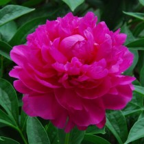 "Пион травянистый ""Да Фу Гай"" (Ричи) (Paeonia 'Da Fu Gui'). Форма цветка махровая шаровидная"
