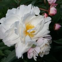 "Пион травянистый ""Джеймс Келвей"" (Paeonia 'James Kelway'). Форма цветка розовидная"