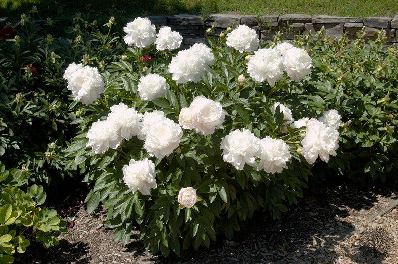 Paeonia-lactiflora-Moonstone-2