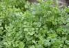 Выращивание петрушки в огороде