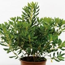 Питтоспорум Тобира (Pittosporum tobira), или смолосемянник обыкновенный, или питтоспорум пахучий