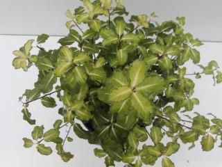 Смолосемянник тонколистный, или питтоспорум тонколистный (Pittosporum tenuifolium)