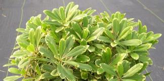 Питтоспорум Тобира (Pittosporum tobira)