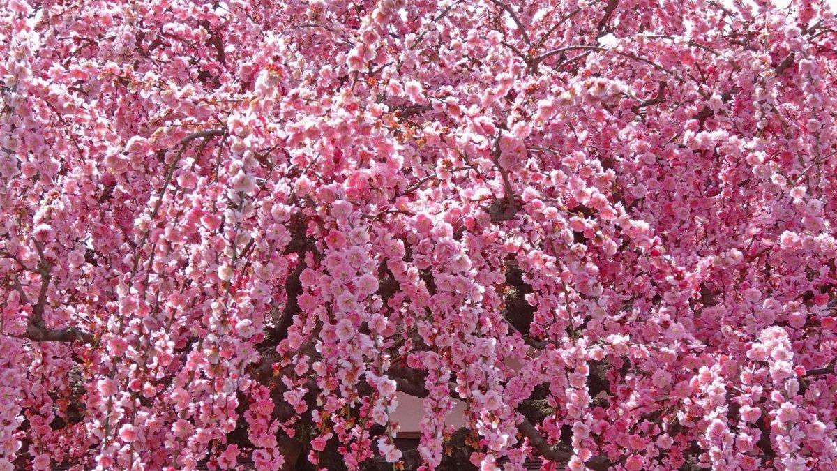 Prunus-mume