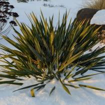 Юкка в зимнем цветнике
