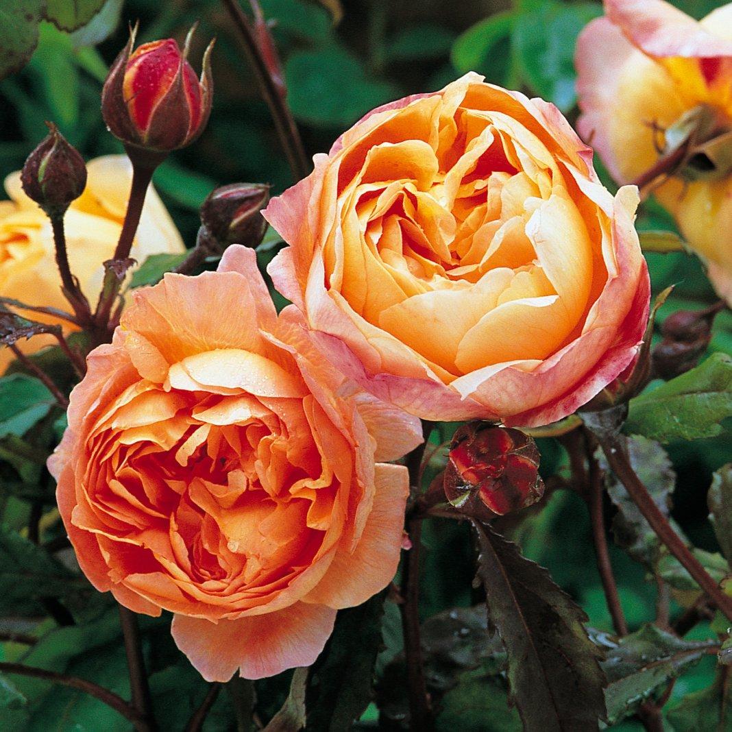 Rosa-Lady-Emma-Hamilton-1