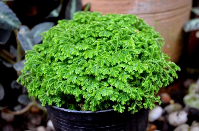 Селагинелла Мартенса (Selaginella martensii)