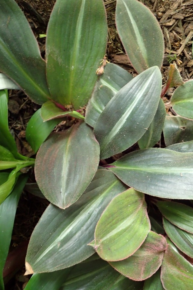 Сидерасис буроватый (Siderasis fuscata)