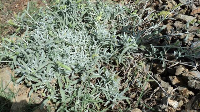 Железница крымская (Sideritis taurica)