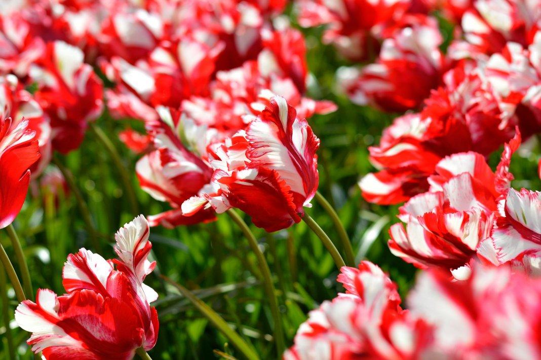 Tulipa-Estella-Rijnveld-2