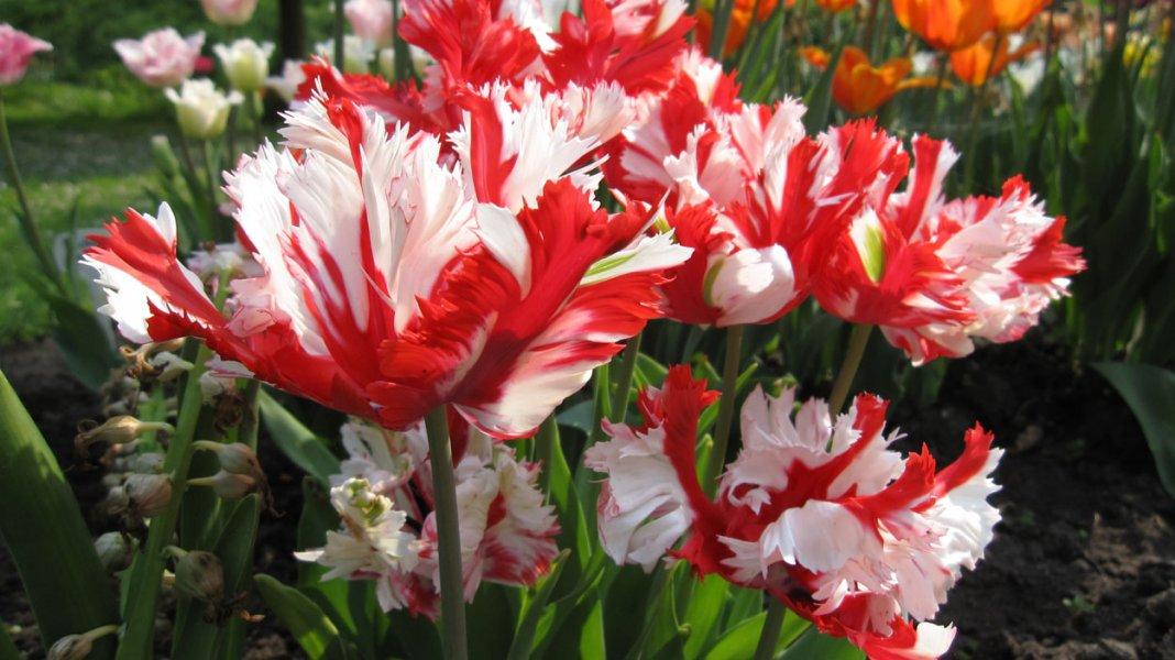 Tulipa-Estella-Rijnveld-3