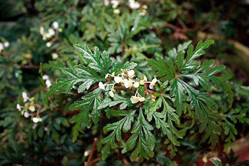 Begonia-polilloensis-3