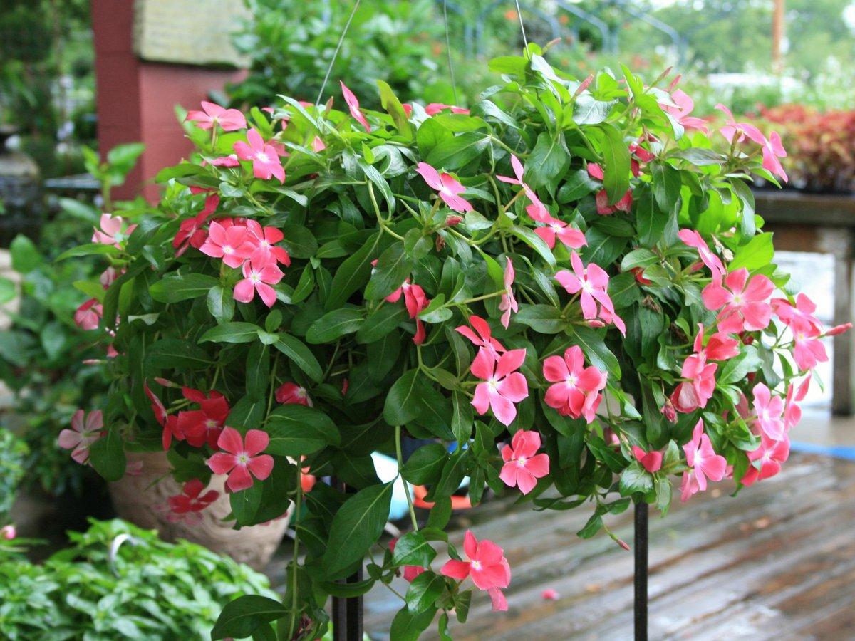 Цветок катарантус клумбы