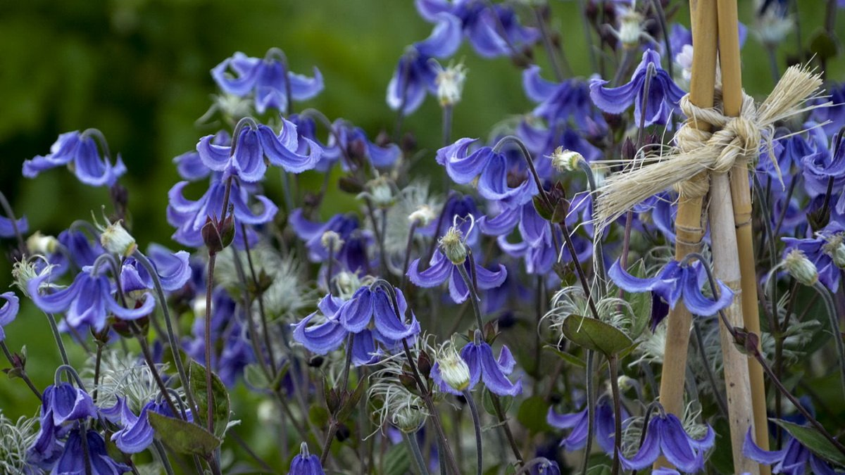 Clematis-Stand-by-Me-1