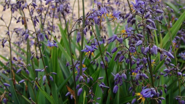 Дианелла голубая (Dianella caerulea)
