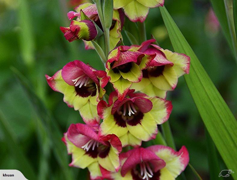 Gladiolus-Flevo-Laguna-1