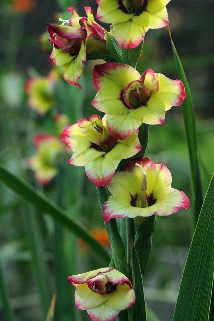 Gladiolus-Flevo-Laguna-2