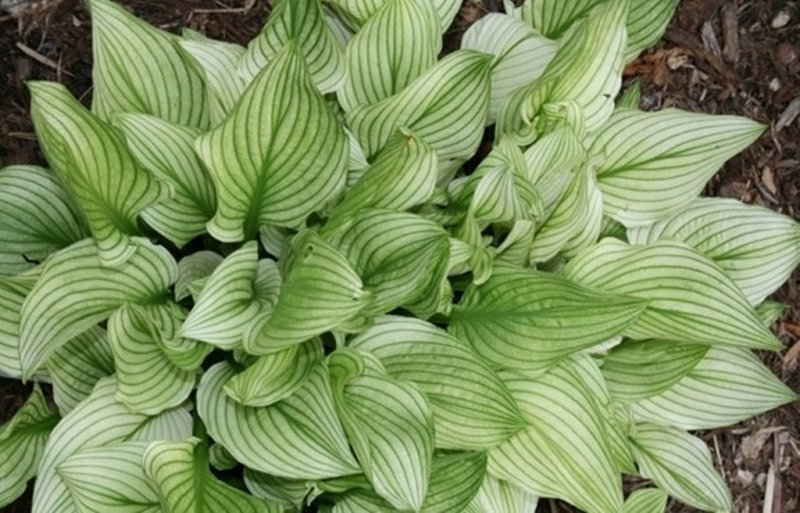 Hosta-Zebra-Stripes-2