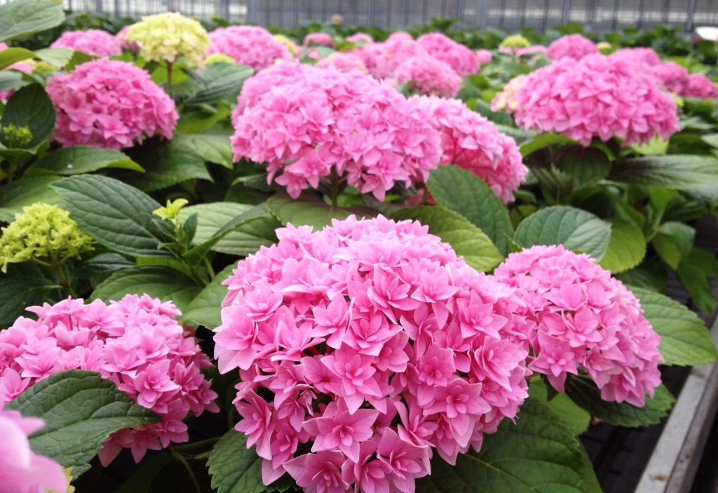 Hydrangea-macrophylla-Perfection-2