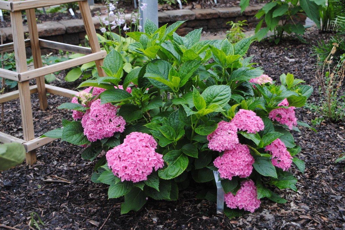 Hydrangea-macrophylla-Perfection-3
