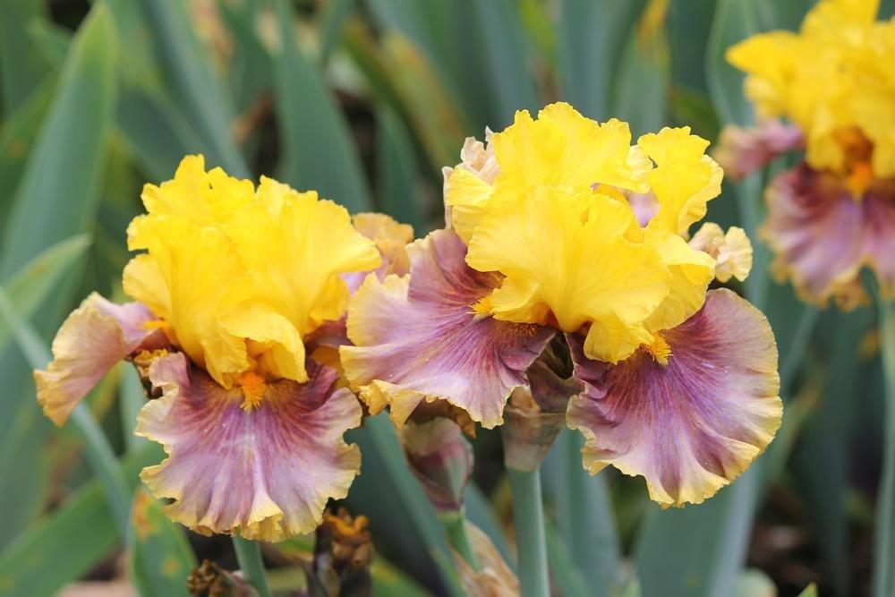 Iris-In-Living-Color-2