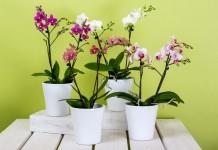 Орхидеи фаленопсис в кашпо