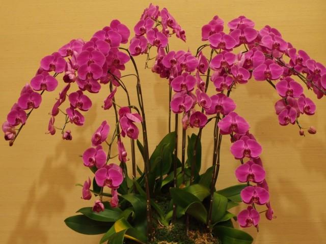 Как продлить цветение орхидеи