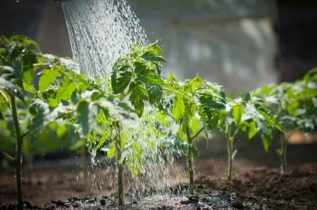 Внесение растворённых в воде комплексных минеральных удобрений