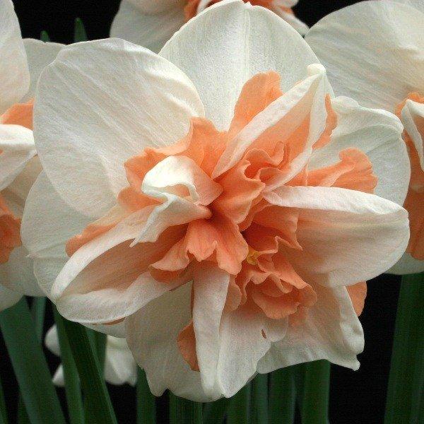 Narcissus-Delnashaugh-3
