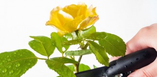 Обрезка комнатной розы