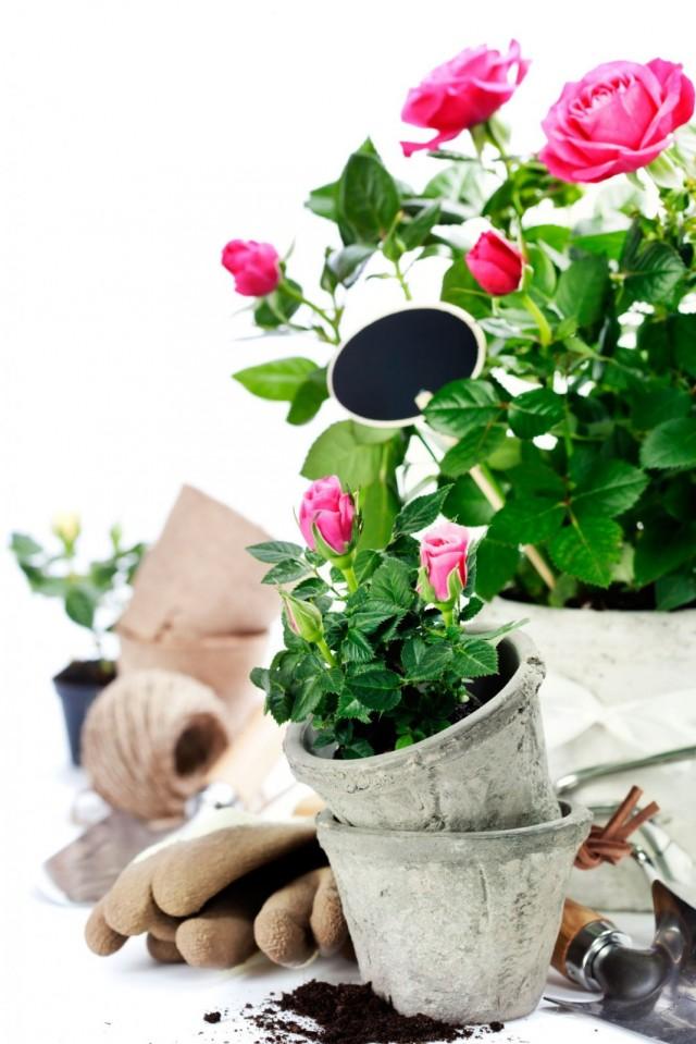 Уход за комнатными розами после обрезки