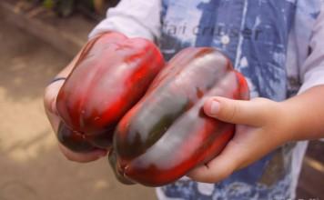 Мощные плоды гибрида Маршал Жуков F1 могут достигать массы 300-400 г