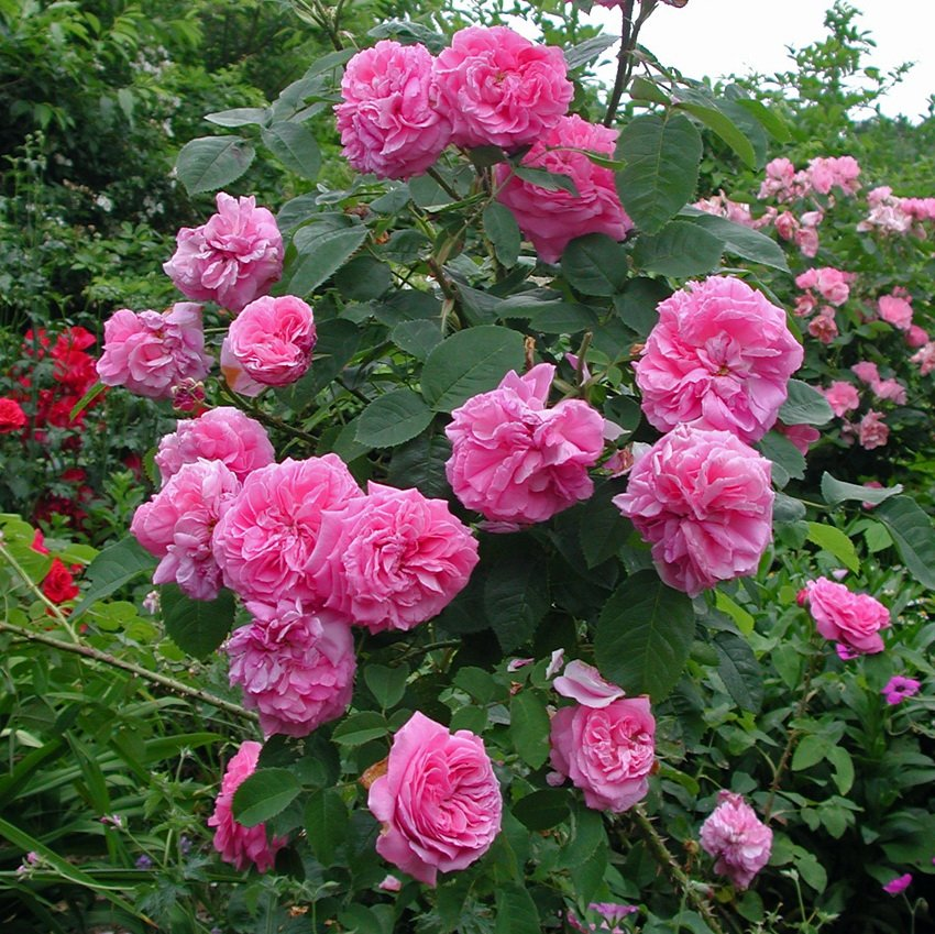 Rose-Baronne-Prevost-2