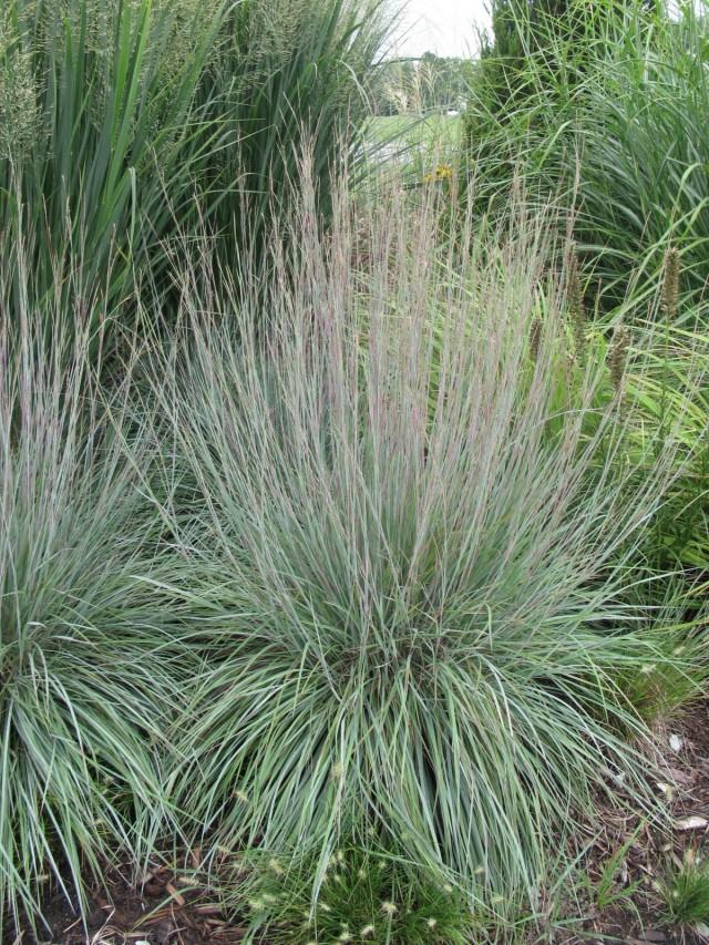 Схизахириум метельчатый (Schizachyrium scoparium)