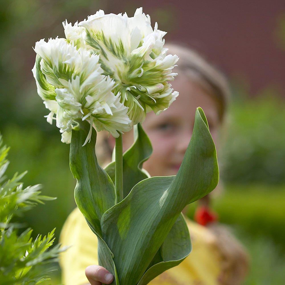 Tulipa-Super-Parrot-1