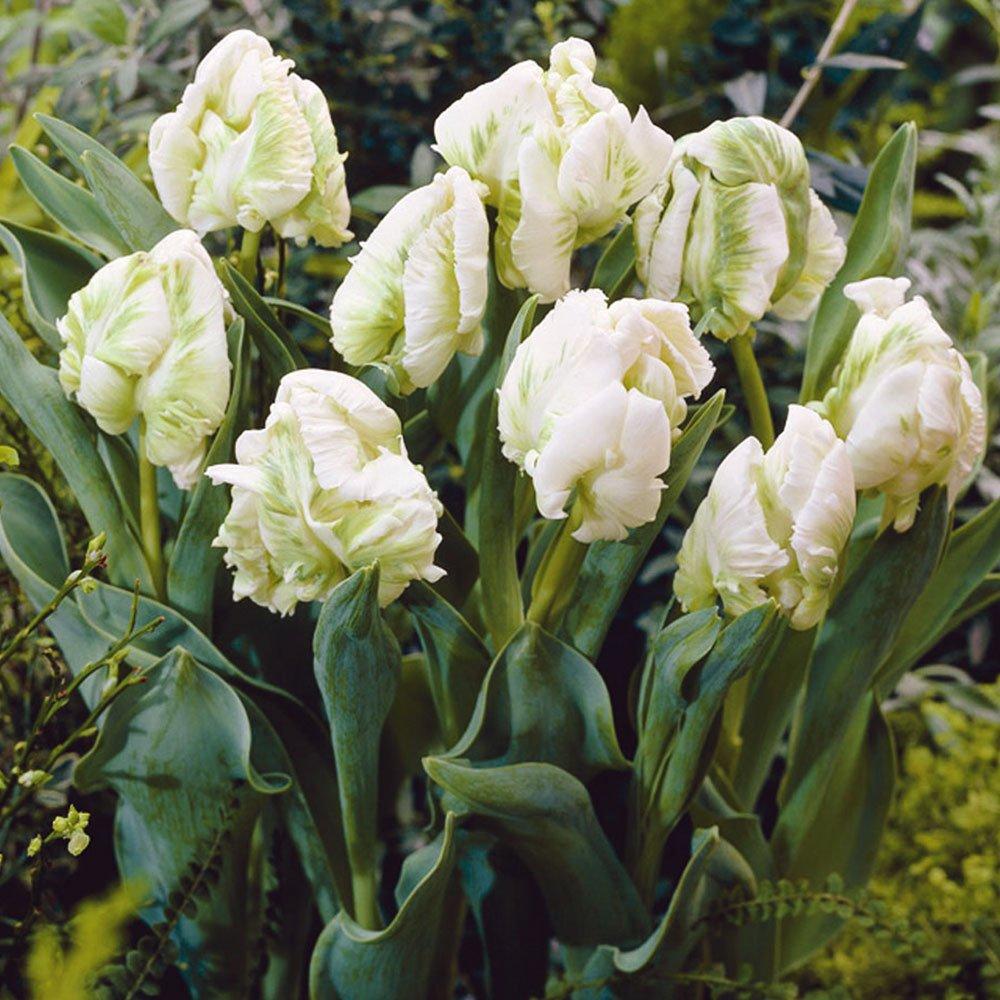 Tulipa-Super-Parrot-2