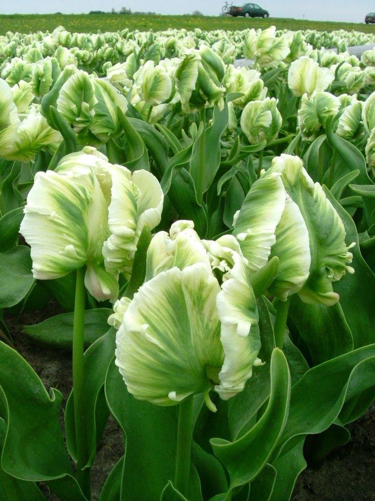 Tulipa-Super-Parrot-3