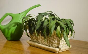 Увядающее комнатное растение