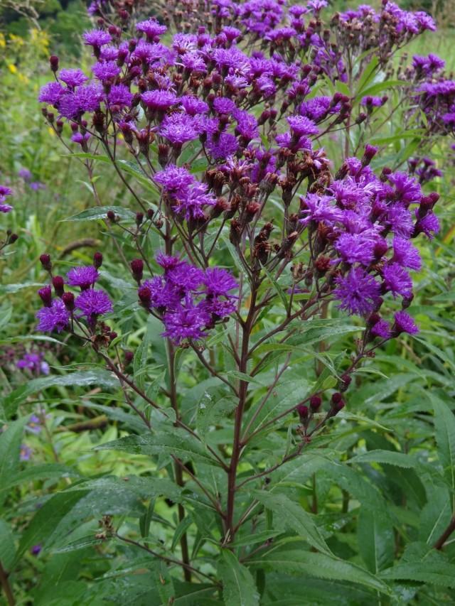 Вернония арканзасская (Vernonia arkansana)