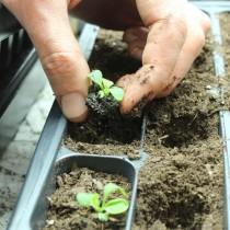 Пересадка сеянца петунии