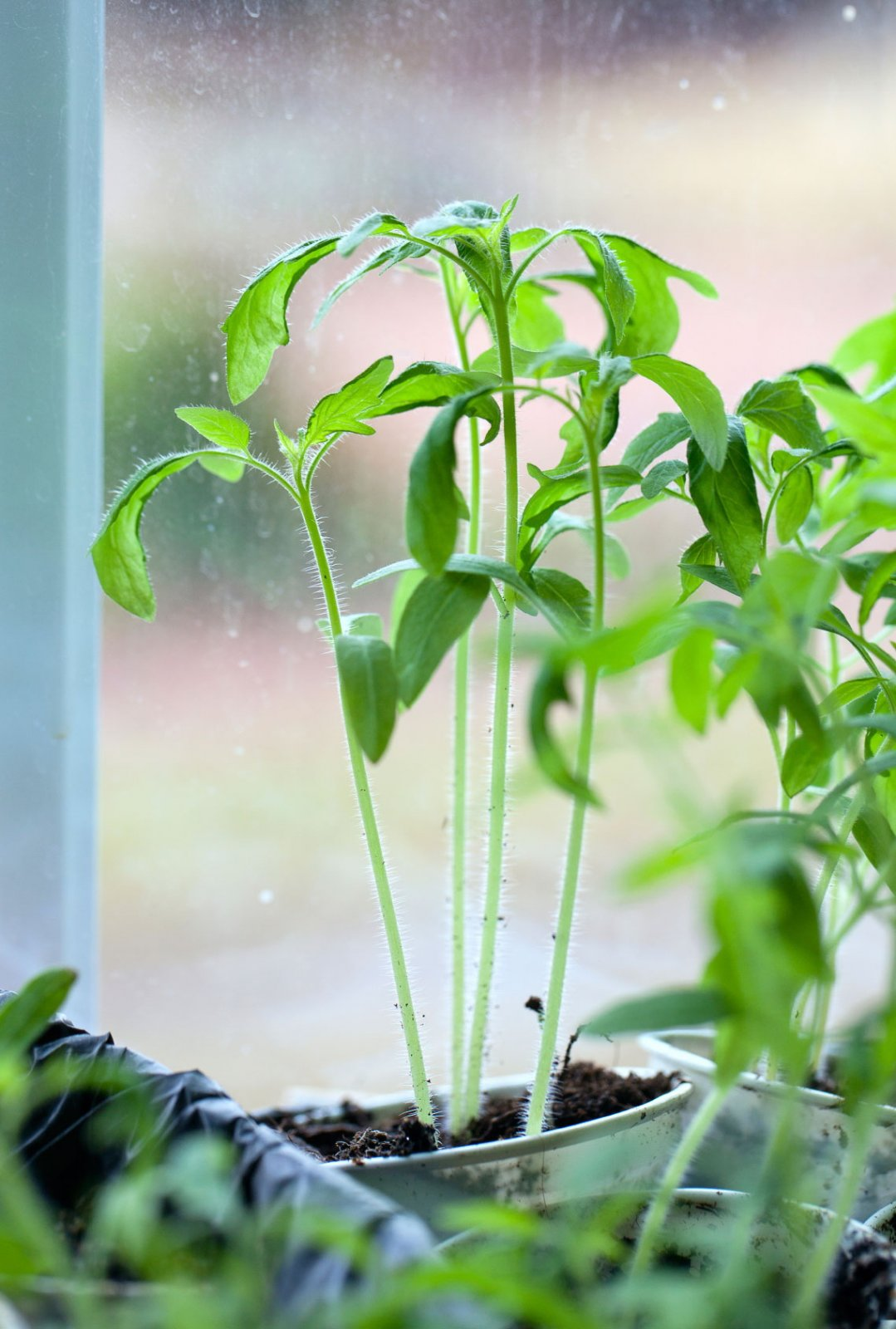 Чем полить рассаду помидор и 15