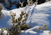Вечнозеленый декоративный кустарник, плохо укрытый снегом