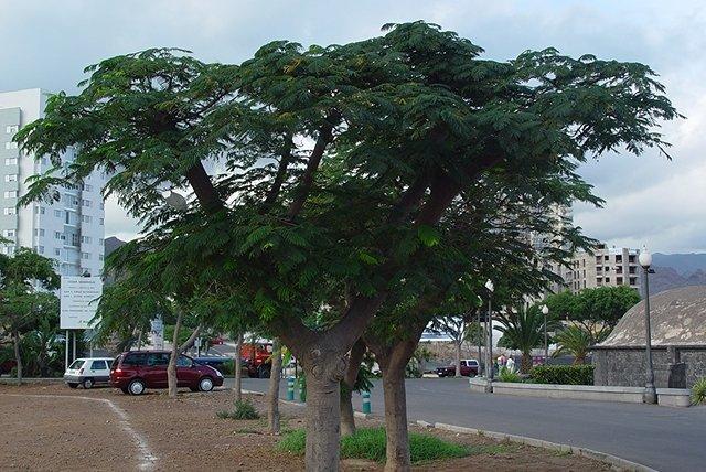 так, вроде, выглядит взрослое дерево