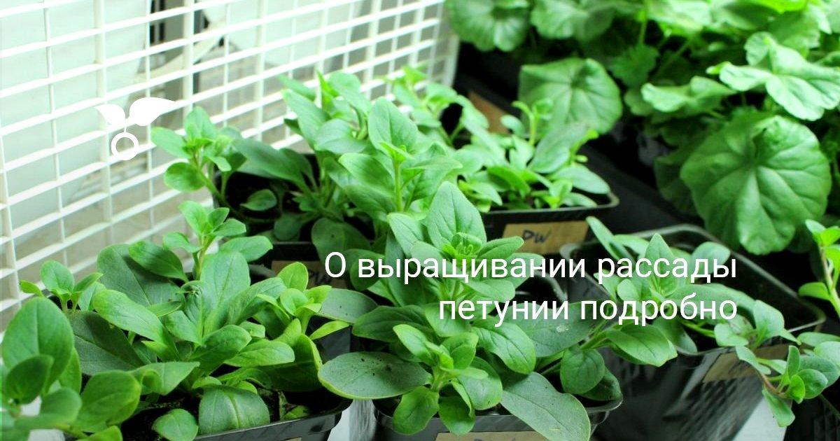 Посев семян петунии Главные моменты коротко