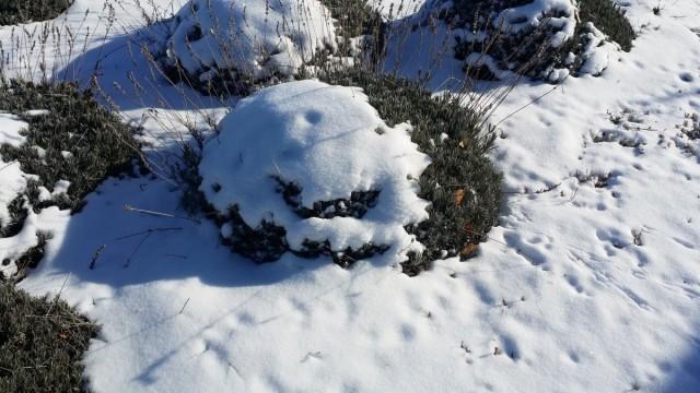 Неукрытые снегом декоративные растения