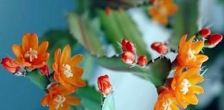Аканторипсалис одноколючковый (Acanthorhipsalis monacantha)