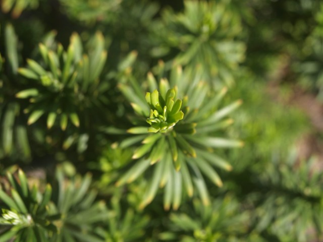 Головчатотисс Харрингтона (Cephalotaxus harringtonii)